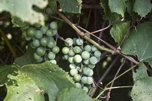 Green grapes on vine closeup