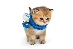 Little red kitten in blue scarf