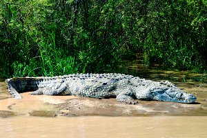 The Nile crocodile in Chamo lake, Ne