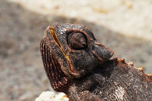 Portrait of the chameleon in Namib D
