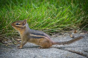 Tiny Chipmunk