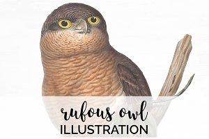 Rufous Owl Vintage Watercolor Bird
