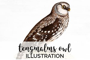 Owl Tengmalms Vintage Watercolor Bir