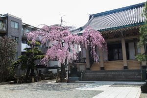 Sakura tree with japan house