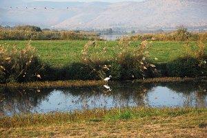 White heron at a stream