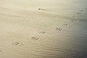 Bird tracks in wet sand