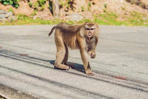 A macaca monkey, Khao Toh Sae