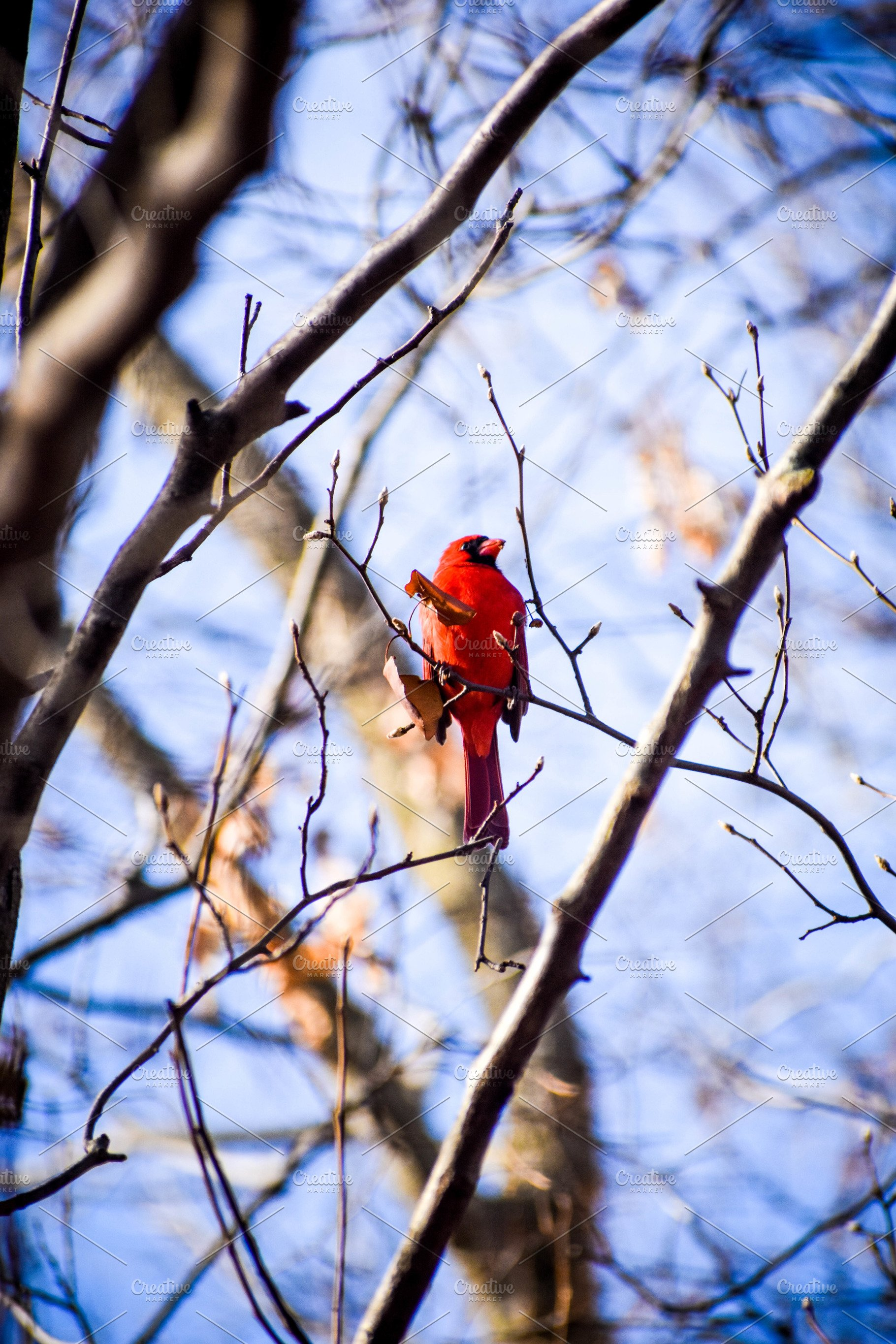 03801d25 Winter Cardinal In Tree