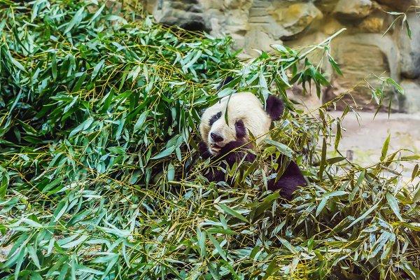 Animal Stock Photos: Elizaveta Galitskaya - Giant panda Ailuropoda melanoleuca