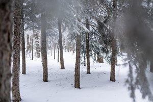 beautifull wide pine and birch tree