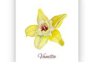 flower vanilla. watercolor painting