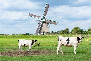 Cows in front of Akkersloot windmill
