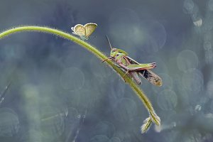 Butterfly with Grasshopper