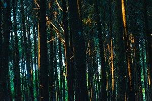 Beautiful Pines Tree