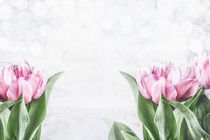 Pink tulips at white background