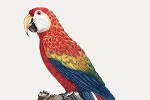 Colorful Araracanga illustration