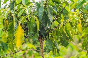 Unripe coffee beans on stem in