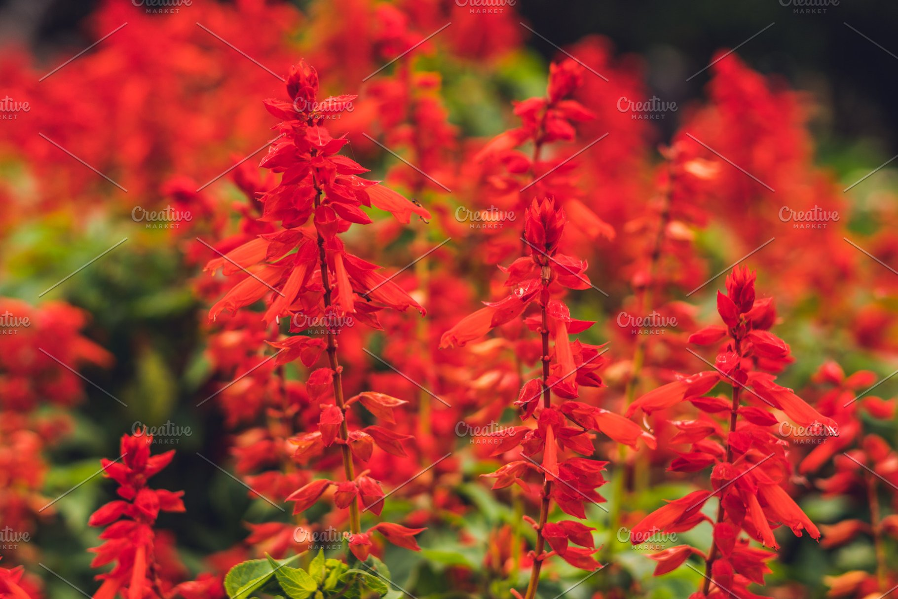 Red Salvia Splendens Flowers High Quality Nature Stock Photos