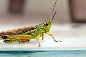 Cricket Close Up