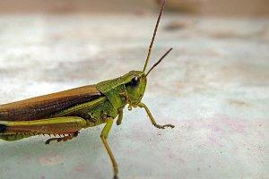 Cricket Close Up