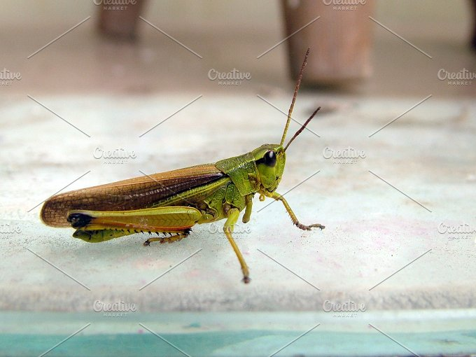 Cricket Close Up ~ Animal Photos ~ Creative Market
