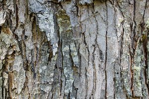 Tree bark for use as texture
