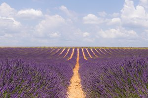 Stock Photo of France Lavender Field