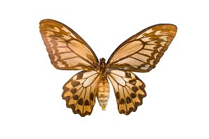 Giant butterfly Ornithoptera priamus