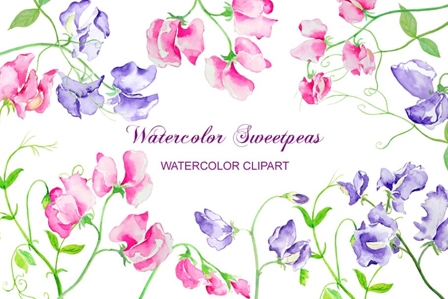 Watercolor Sweet Pea Flowers Custom Designed Illustrations