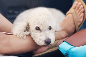 Portrait of cute white poodle dog