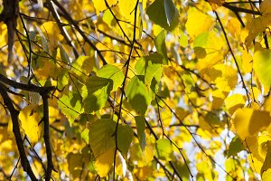 golden and yellow birch foliage