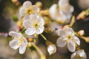 Cherry flowers frame