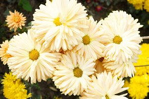 Field of yellow-white chrysanthemums