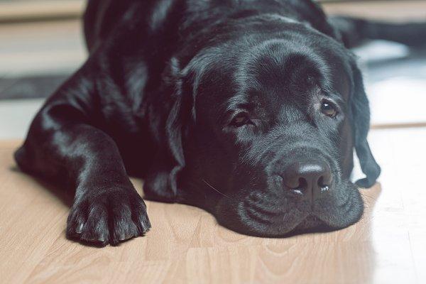 Animal Stock Photos - Black labrador retriever