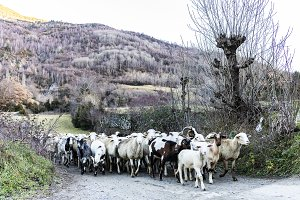 Group of sheeps and goats