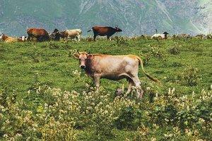 Cows farming at mountains alpine