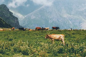 Cows farm in mountains alpine green
