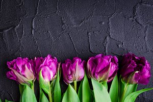 Purple tulips on black background
