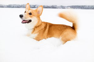 Happy corgi dog on snow