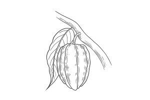 Cocoa illustration, drawing