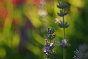 lavender morning glow