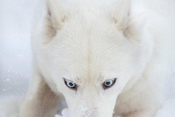 Animal Stock Photos - white husky dog head in snow closeup