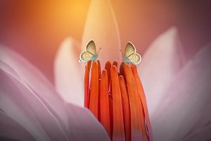 Two Butterfly on Lotus Flowers