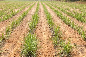 Agricultural lands for sugarcane cul