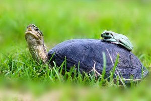 dumpy and turtle frogs