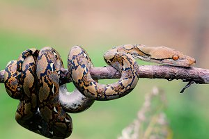 snake, python in the branch