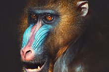 portrait of a mandrill by  in Animals