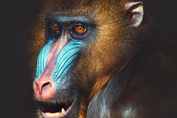 Animal Stock Photos: Perpis - portrait of a mandrill
