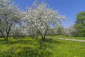 Flowering in old apple orchard