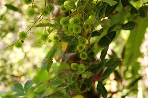 Green rambutan on the tree